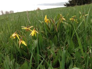 Erythronium americanum (Trout lily, Yellow trout lily, Yellow dogtooth violet)